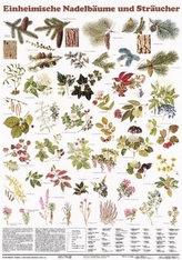 Einheimische Nadelbäume und Sträucher